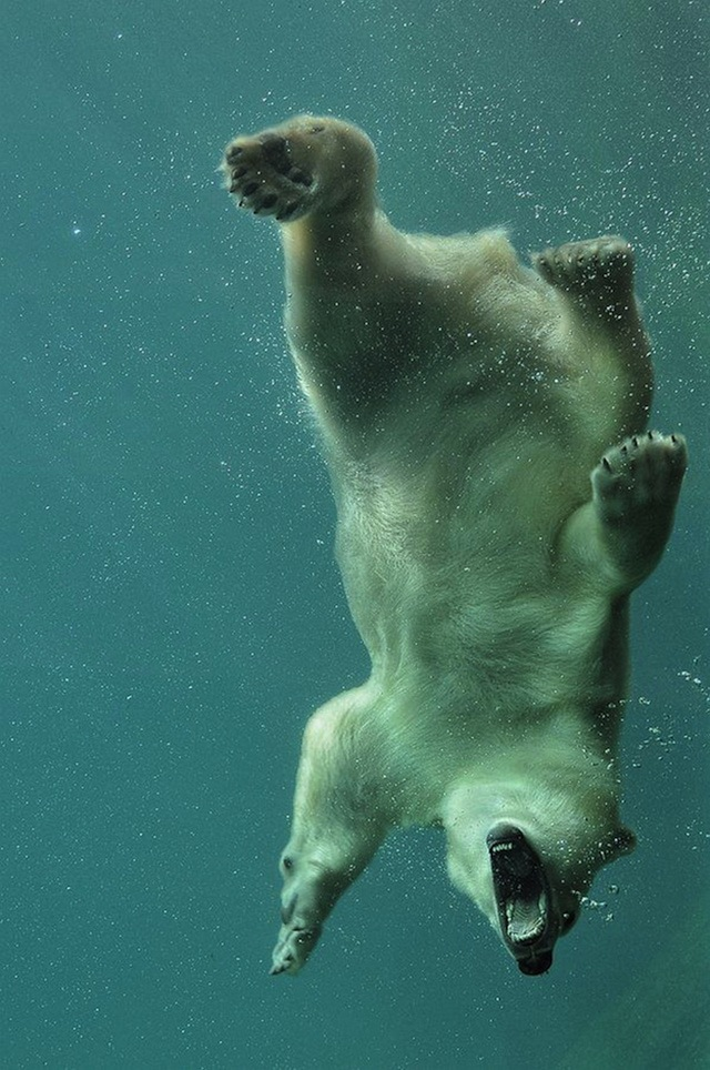 I WONDER IF THE POLAR BEAR REALIZES HOW COLD THAT WATER IS..