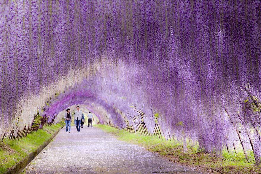 04 - Wisteria Flower Tunnel in Japan