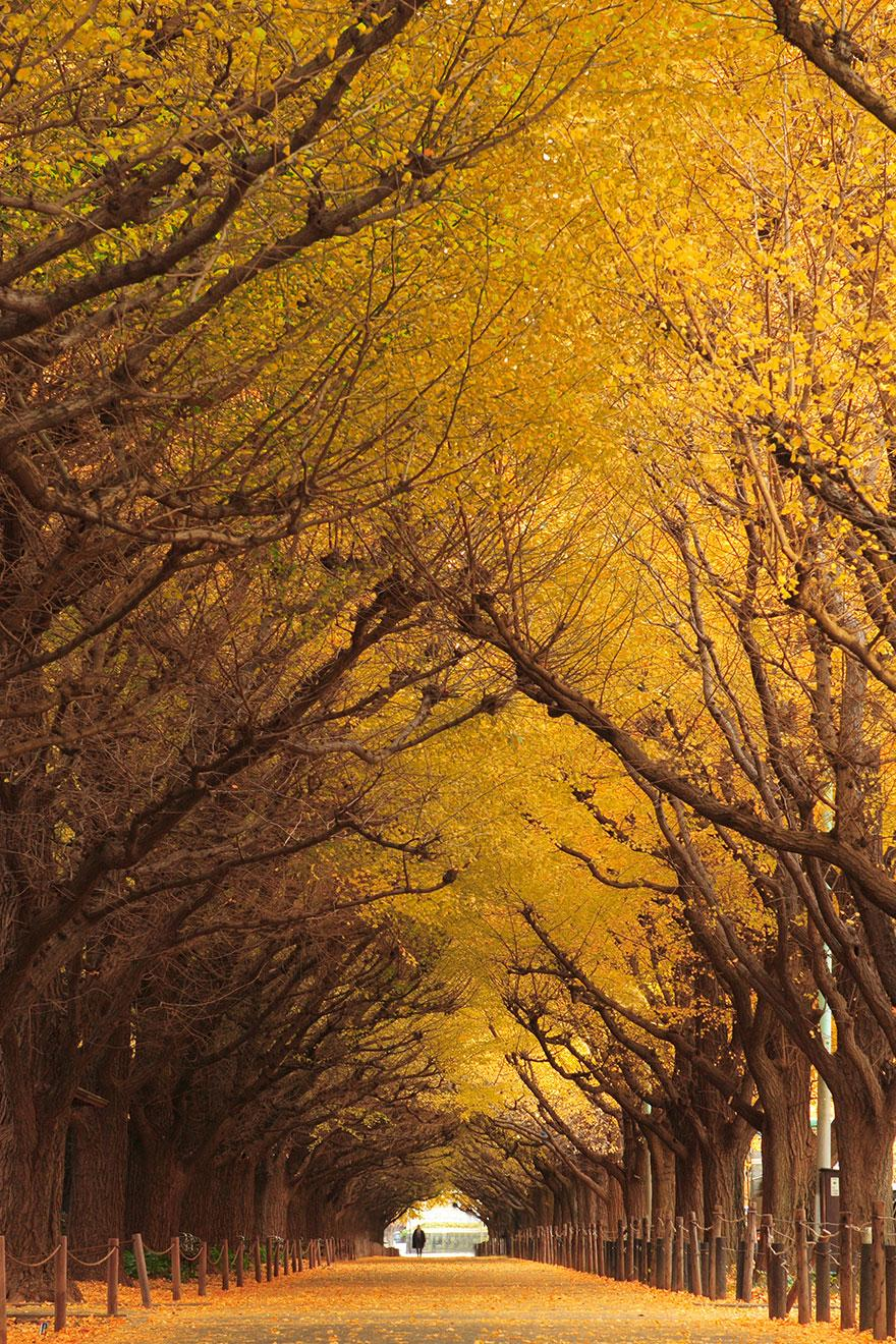 11 - Ginkgo Tree Tunnel in Japan