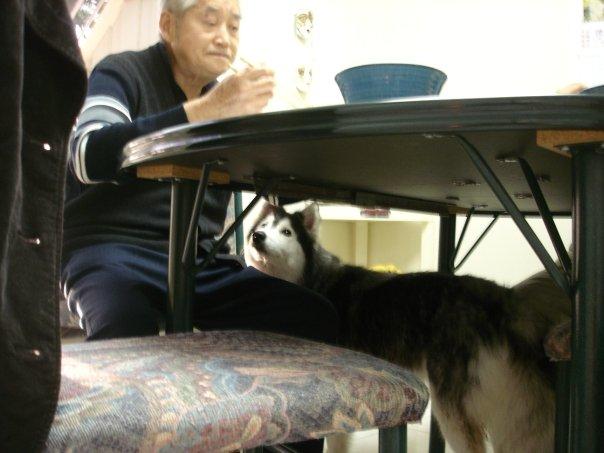 tally-husky-dog-raised-by-cats-13