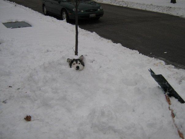 tally-husky-dog-raised-by-cats-36