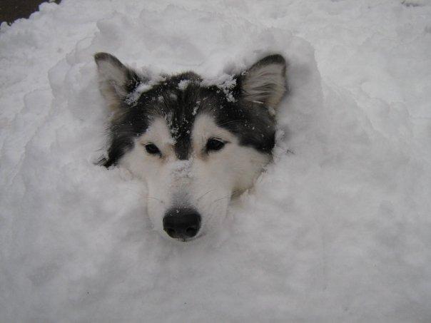 tally-husky-dog-raised-by-cats-38