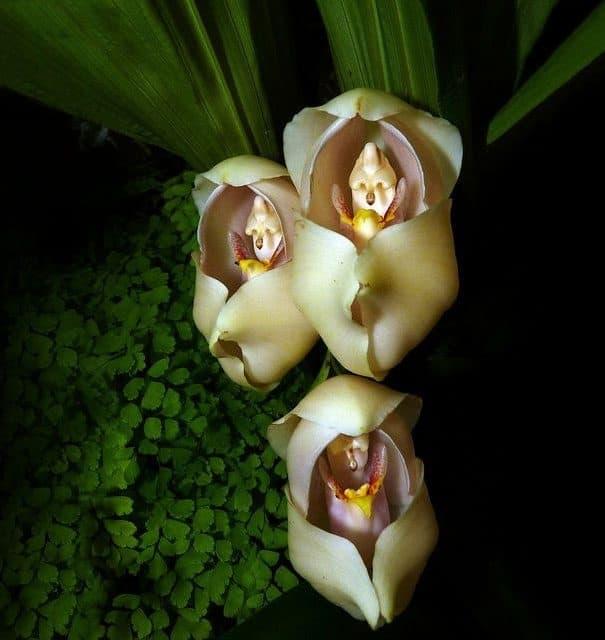 flowers-look-like-animals-people-monkeys-orchids-pareidolia-3