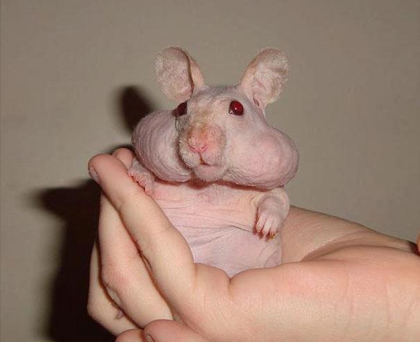 hairless-bald-animals-33