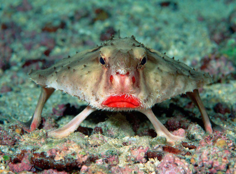 %20Red-Lipped%20Batfish