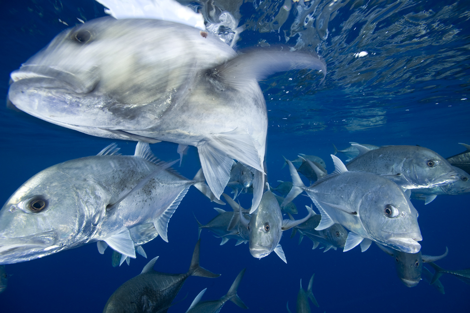 A large school of Giant Kingfish on the hunt.