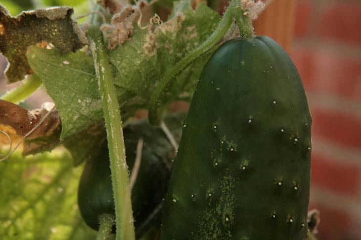 cool-plants-lawn-cucumber