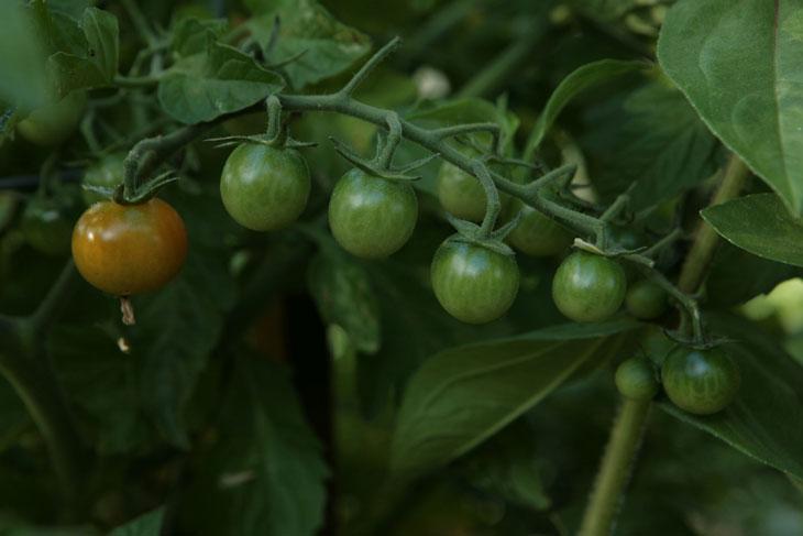 cool-plants-lawn-green-tomato