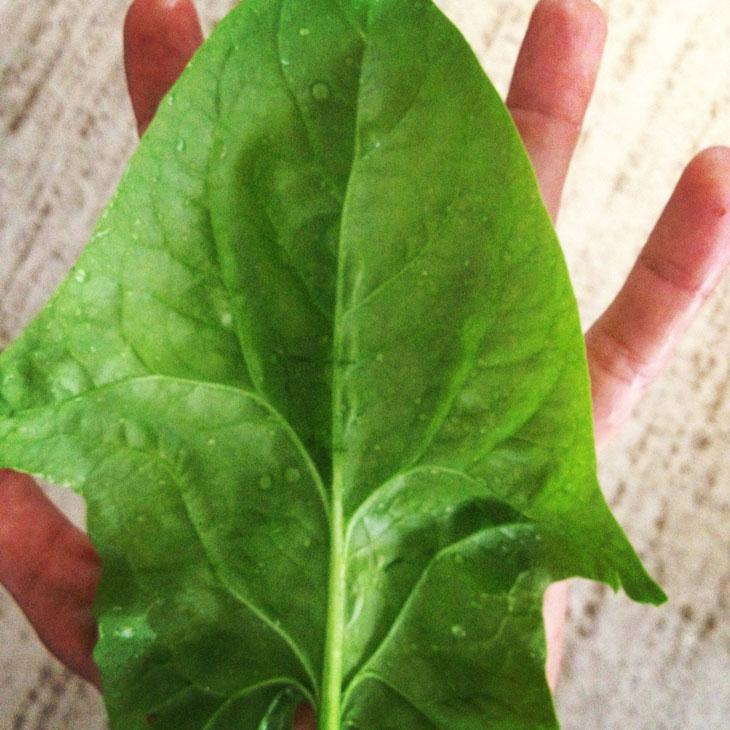 cool-plants-lawn-spinach-leaf