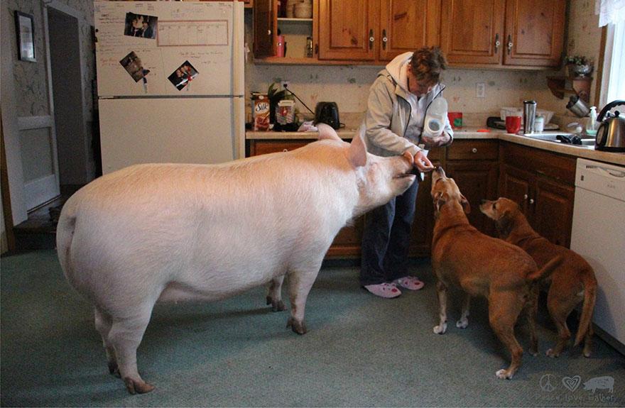 esther-wonder-pig-sanctuary-steve-derek-11