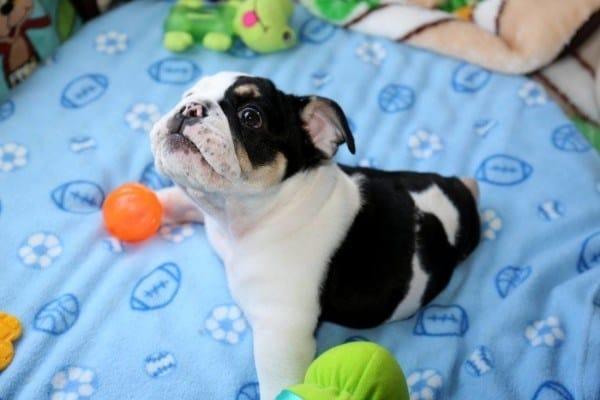Meet Bonsai The Bulldog With Only Half A Body But All Heart