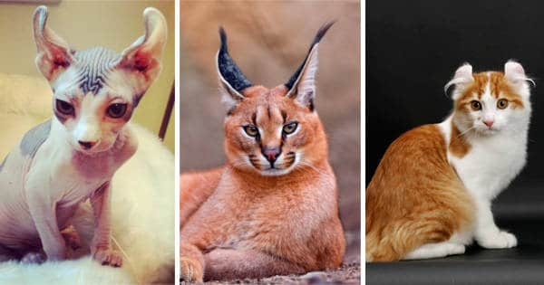 14 Most Expensive Cat Breeds In The World